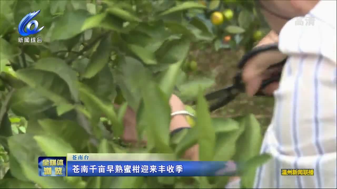 蒼南早熟蜜柑迎來豐收